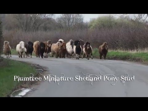 Moving time at Plumtree Miniature Shetland Pony Stud!
