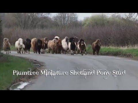 Moving Time At Plumtree Miniature Shetland Pony Stud!