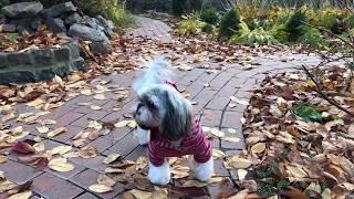 Осень на ОГороде. Ши тцу после стрижки.