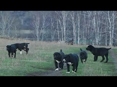 видео: Щенки среднеазиатской овчарки (АЛАБАЙ) из БАШКИРИИ.