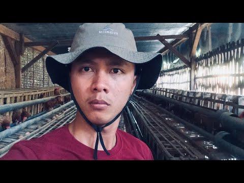 Belajar Usaha Ayam Petelur Populasi 200 Ekor