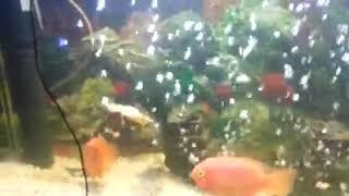Alligator gar fish eat chichild...