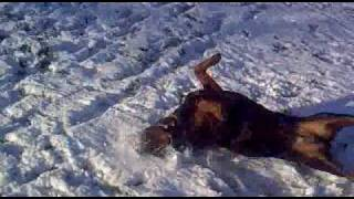 Funny Rottweiler Faceplanting Snow