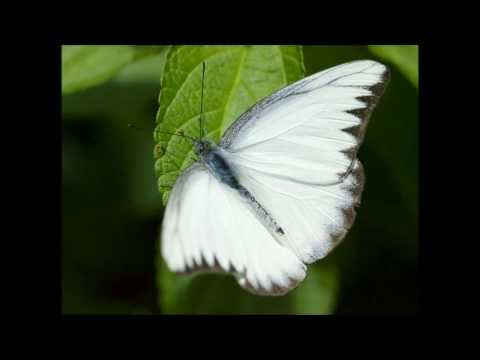 pascal witte vlinder