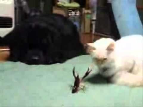 Lobster vs. Cat - YouTube