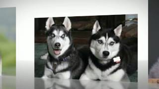 How To Potty Train A Siberian Husky Puppy