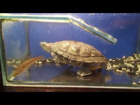 Красноухая черепаха против рыбки