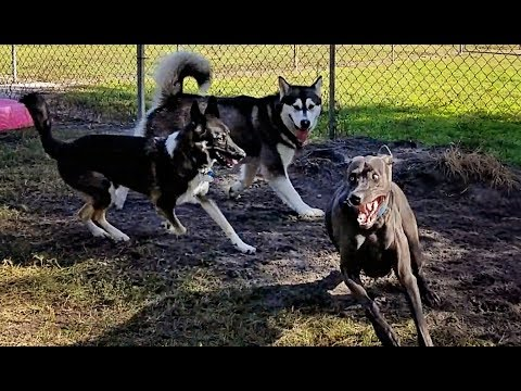 Malamute Meets 5 Very Large Dogs At DogPark!!!