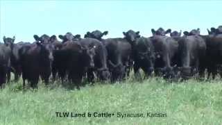 Tlw Land & Cattle, Lp (40 Bred Comm'l Heifers)