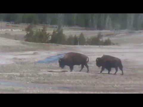 Bisons. Yellowstone VideoStream 05/01/16 09:38