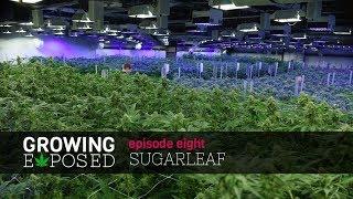 Growing Exposed Season 1 Episode 8 - Sugarleaf