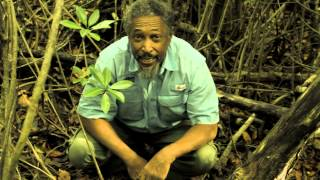 Red Mangroves: The Strangest Roots & Fruits