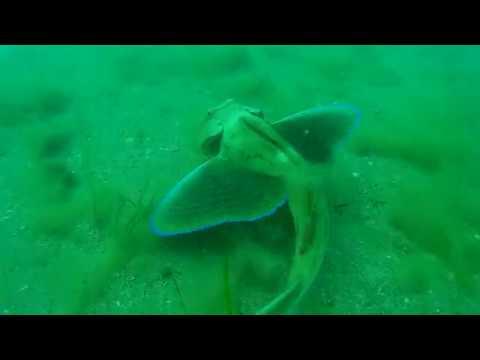 Морской петух. Дайвинг в Крыму. Орджоникидзе. Феодосия