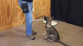 "Dark Sable German Shepherd ""ora"" Beautiful Puppy Obedience Trained Dog For Sale"