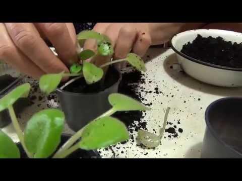 Фиалка – описание, лист и цветы фиалки, сорта фиалки, уход