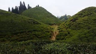 Darjeeling Tea 2016 Estate video with undulating tea hills of Darjeeling