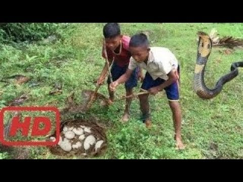 Thumbnail: Wow! Brave Boys Catch Village Snake In Jungle How To Catch Village Snake In My Village KM Daily