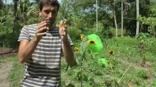 how to hand pollinate and save seeds from sunflowers wwn vlog