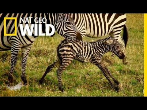 Baby Animals Find Their Footing | Animal Moms  | National Geographic Wild