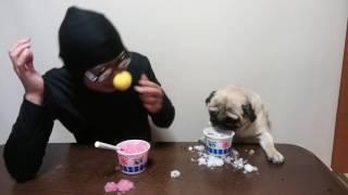 パグ犬ムゥが,全身黒タイツ変なおじさんマンとかき氷の早食い対決をしま...