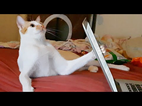 CAT Wants Attention 😹'What's in that Laptop Hooman?' ADORABLE