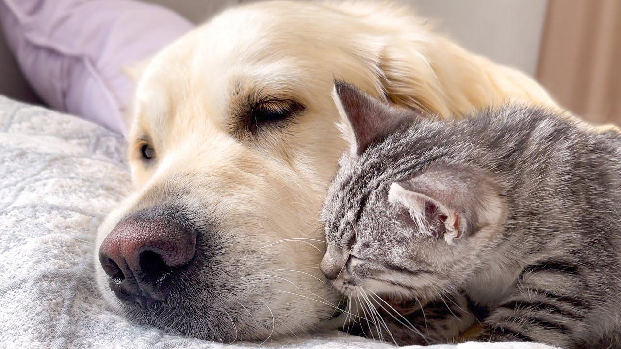 Cute Baby Kitten thinks Golden Retriever is his Mom