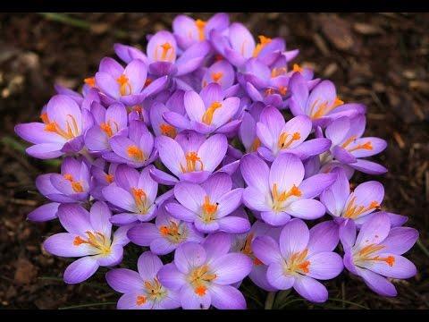 Most Beautiful Crocus Flower Ever You Seen