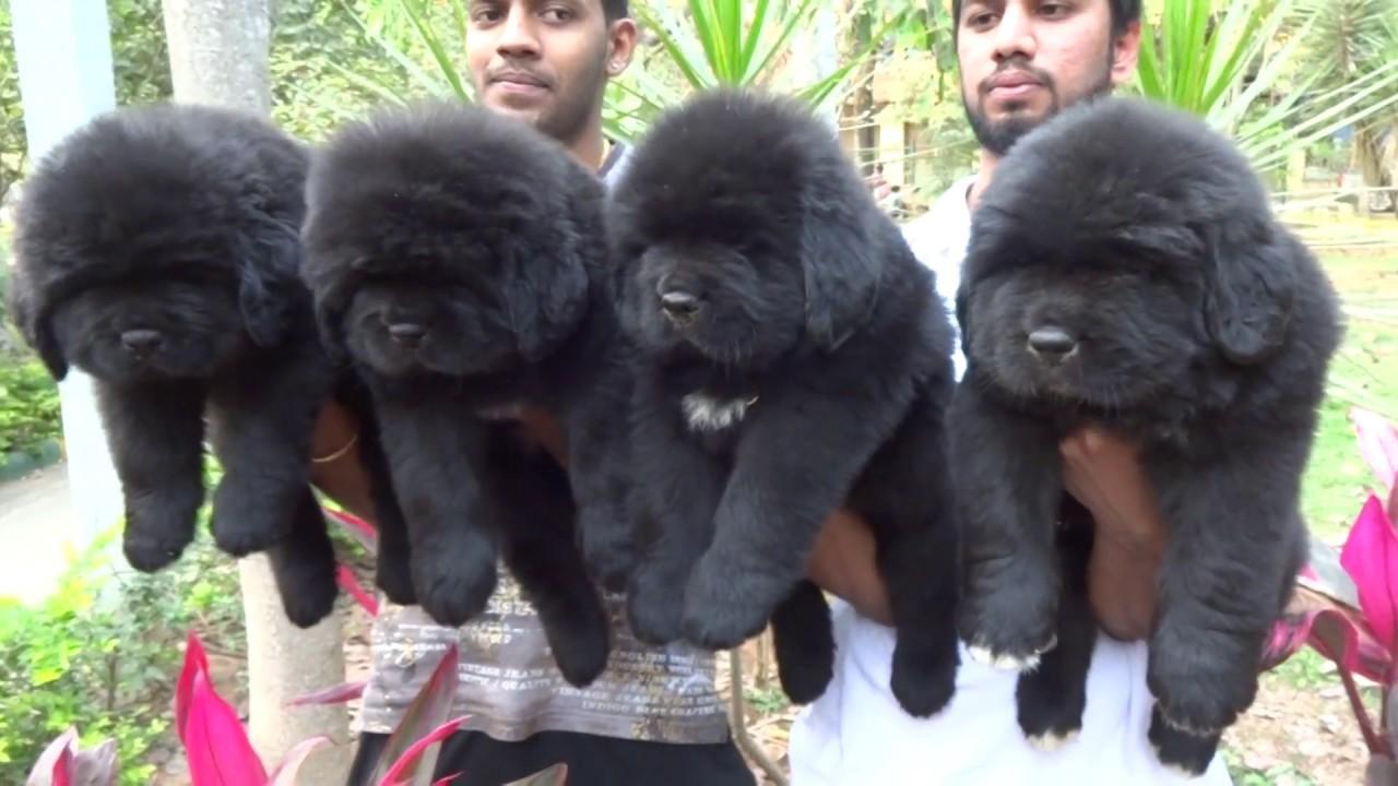 Newfoundland Pups In India