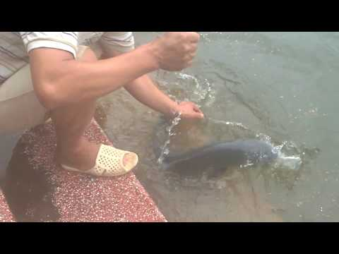 Câu cá trắm đen khủng bằng cần câu đơn máy tại Hồ Câu Kim Mã Hà Nội #Fishings