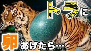 【肉食獣】トラにエミューの卵をあげたら、想定外の行動に!? If you give an emu egg to a Tiger