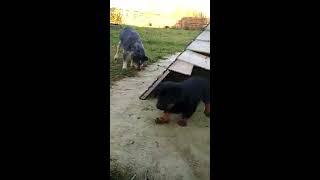 Щенки босерона (французская гладкошёрстная овчарка) - 7