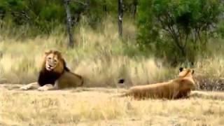 Львица заигрывает со львом(Львица привлекает внимание льва., 2014-02-22T06:49:15.000Z)