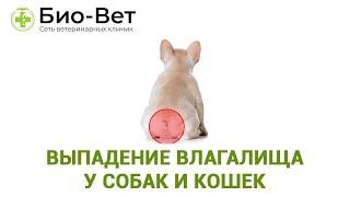 Выпадение влагалища у собак и кошек. Ветеринарная клиника Био-Вет.
