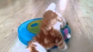 Котята мейн кун, питомник Авакун