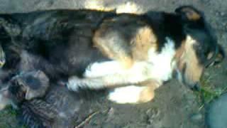Собака отобрала котят у кошки)