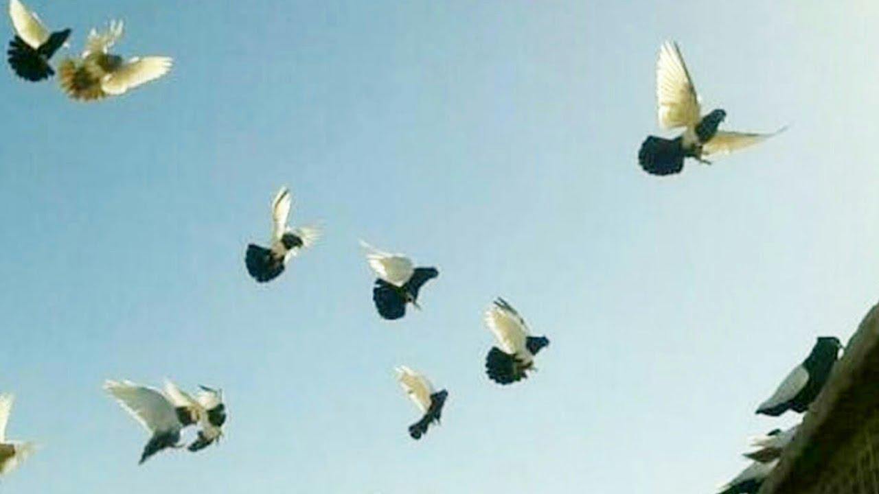 the best flying pigeons Birmingham roller