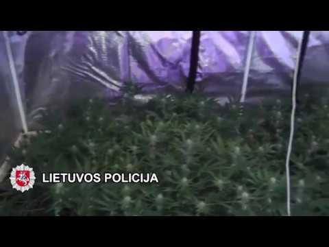 """Klaipėdos kriminalistai sulaikė """"botaniką"""" auginusi namuose didelį kiekį kanapių"""