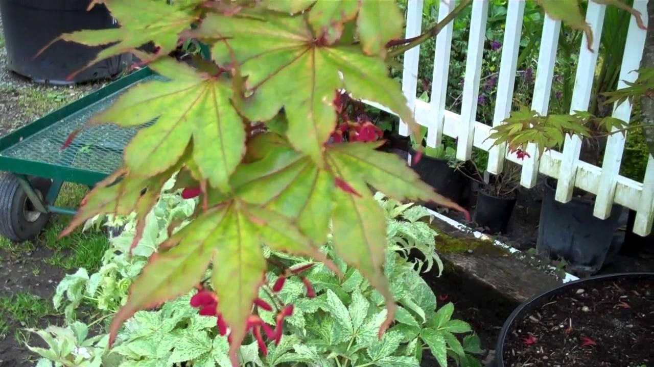 Aka Shigitatsu Sawa Anese Maples At Northwest Nurseries