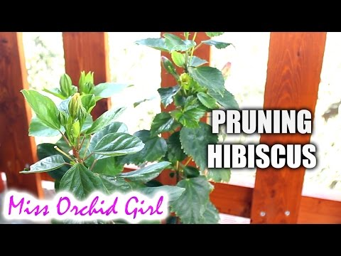 Pruning And Propagating Hibiscus