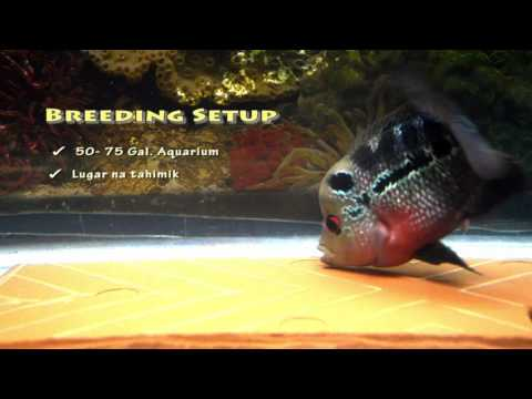 Flowerhorn Breeding  Step By Step Guide By FishPH