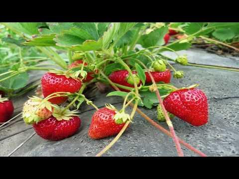 Вопрос: Нужно ли удобрять садовую землянику во время созревания ягод?