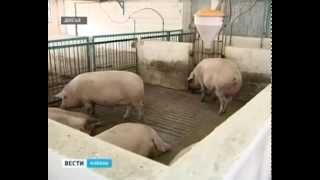 Сегодня ограничений на содержание свиней в личных подворьях нет