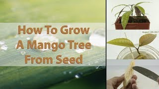 How To Grow A Mango Tree From Seed - EASY - With Results ( HD Macro )