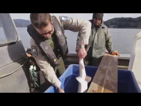 Caviar Schemes: Sturgeon Poachers On The Columbia