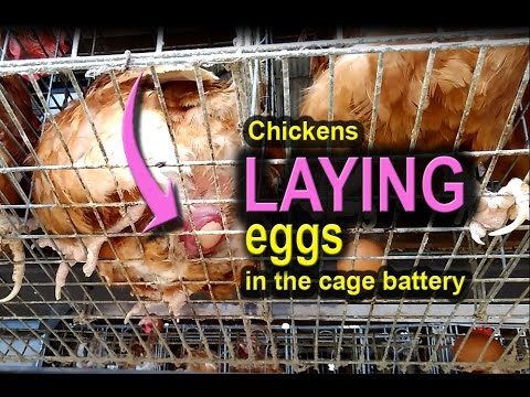 RAISING CHICKENS, Laying Chicken, Poultry Farming
