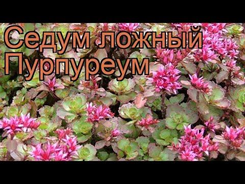 Седум ложный Пурпуреум 🌿 ложный седум Пурпуреум обзор: как сажать, рассада седума Пурпуреум