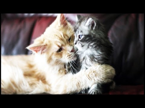 Cats & Kittens ★ Cute Cats and Kittens Playing [Funny Pets]