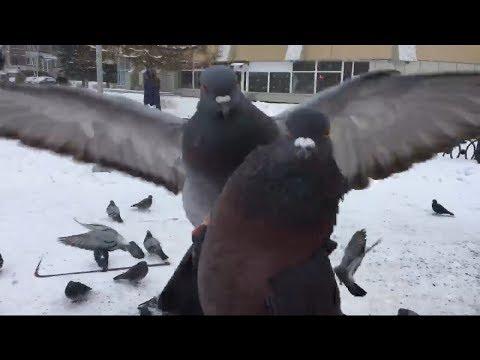 Вы не поверите в это! На что способны голуби ради семечек?