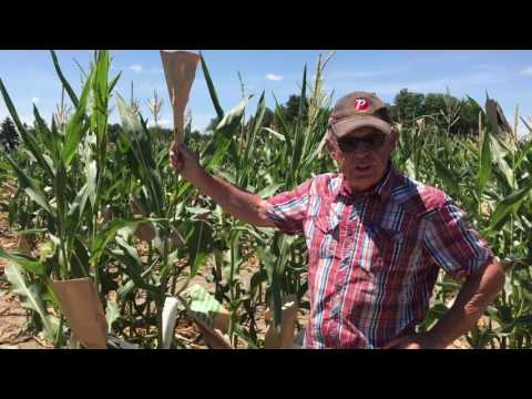 Research Production Of Inbred Seed Corn