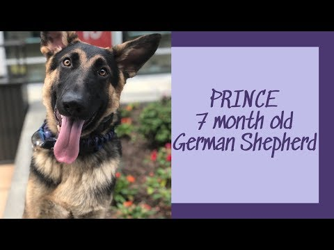 Prince | 7 Month Old German Shepherd | Off Leash Obedience | Columbus Dog Trainers